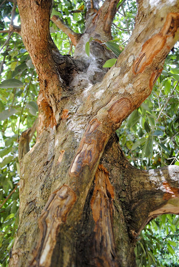 Тропическо Лаврово дърво - суровина за Канела